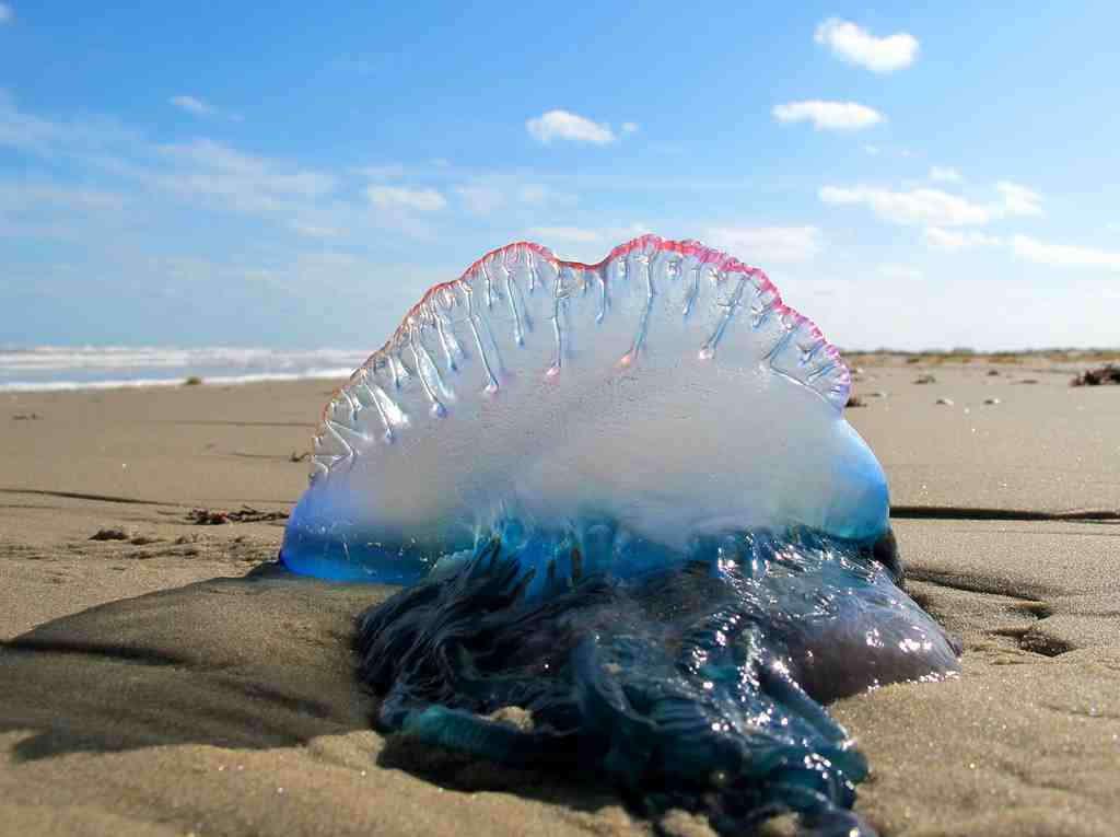 Alertan sobre aparición de peligrosa especie marina en el litoral peruano