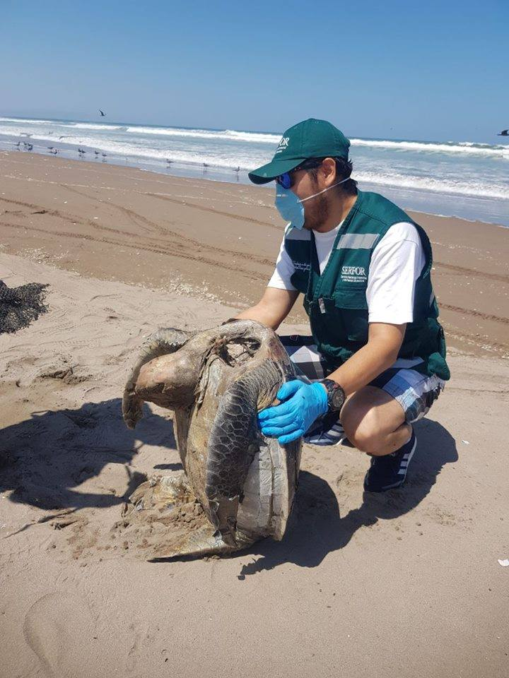 Tacna: Tortuga marina muere tras ingerir plástico