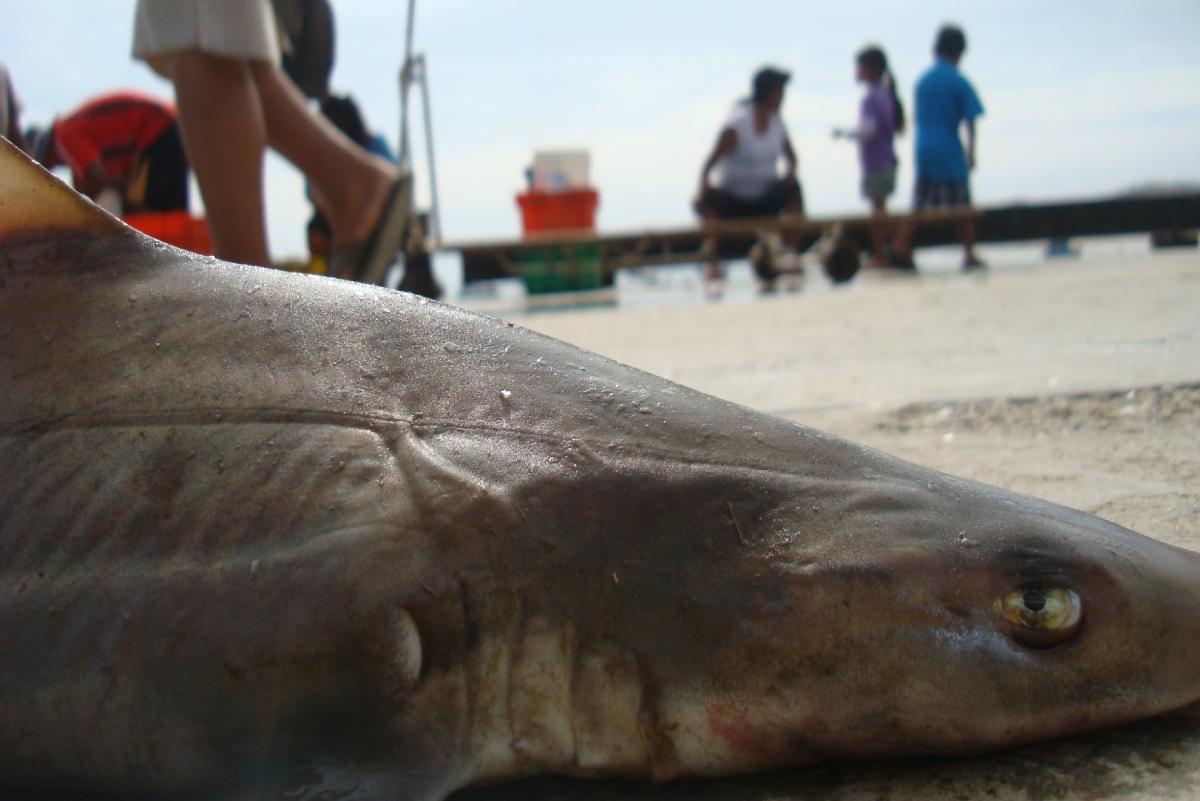 ¿Existen tiburones en el Perú? ¿Cuál es la probabilidad de ser atacado por uno?